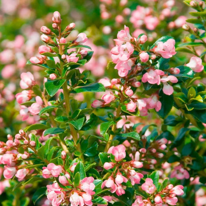 Escallonia Plant - Apple Blossom