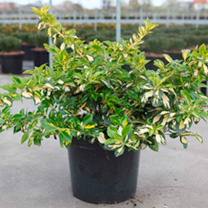 Euonymus fortunei Plant - Blondy