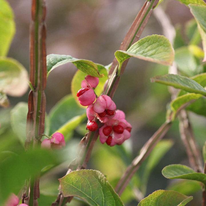 Euonymus phellomanus Plant