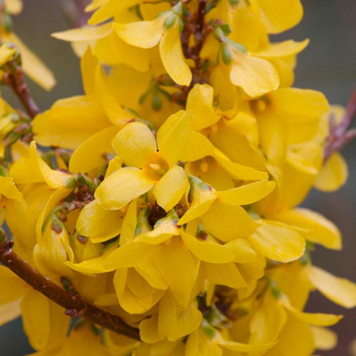 Forsythia int. Plant - Week-End®