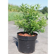 Forsythia vir. Plant - Citrus Swizzle®