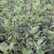 Garrya elliptica Plant
