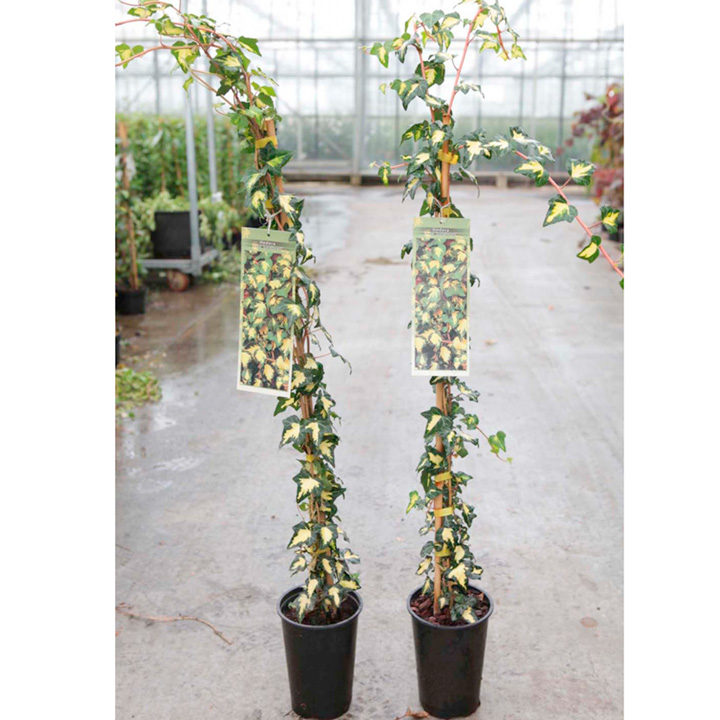 Hedera helix Plant - Goldheart