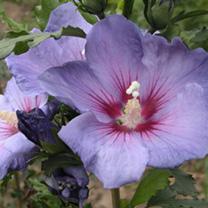 Hibiscus syriacus Plant - Azurri® Belli Colori