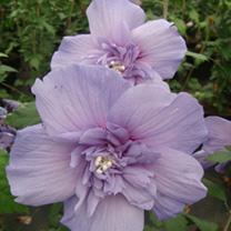 Hibiscus syriacus Plant - Blue Chiffon®