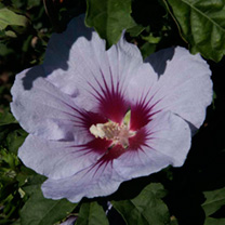 Hibiscus syriacus Plant - Cielo® Belli Colori