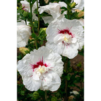 Hibiscus syriacus Plant - French Point®