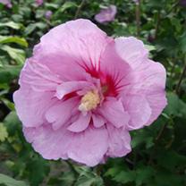 Hibiscus syriacus Plant - Lavender Chiffon®