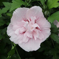 Hibiscus syriacus Plant - Pink Chiffon Noble