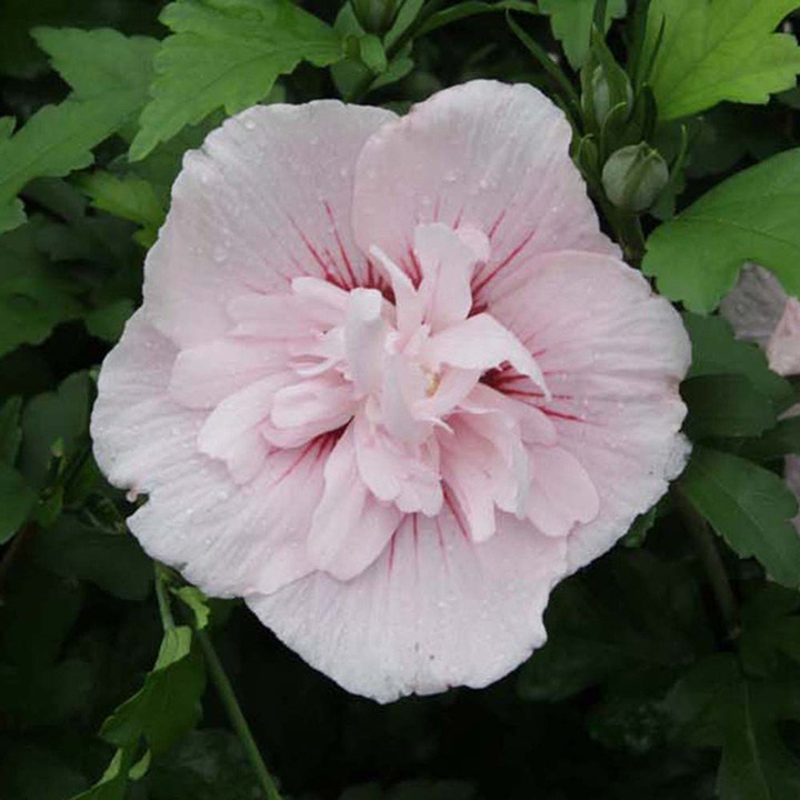 Hibiscus syriacus Plant - Pink Chiffon®