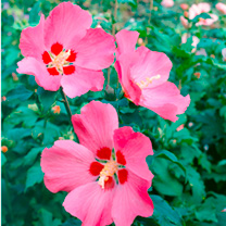 Hibiscus syr. Plant - Woodbridge