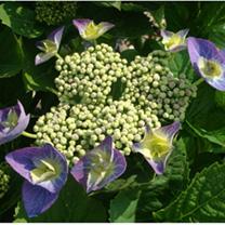 Hydrangea m. Plant - Blaumeise