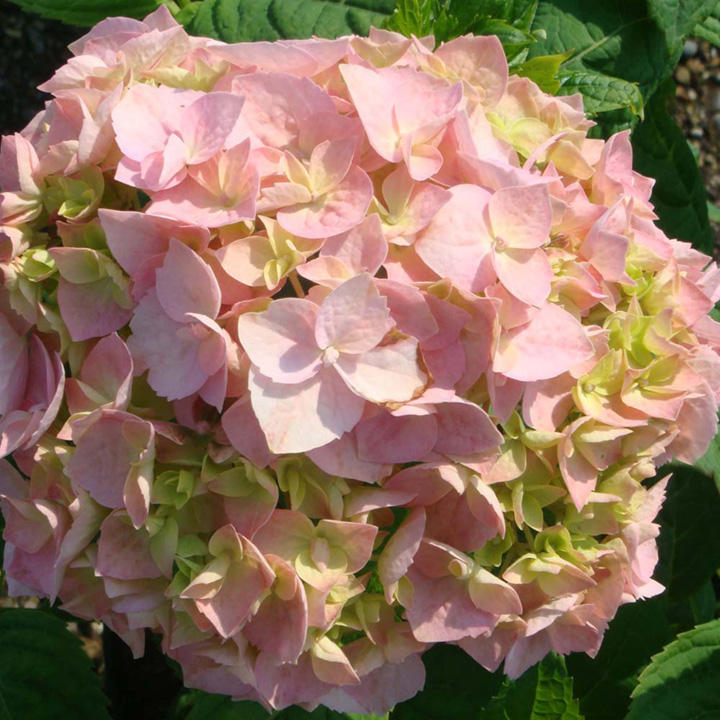 Hydrangea m plant bouquet rose trees and shrubs