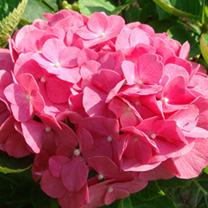 Hydrangea macrophylla Plant - King George V