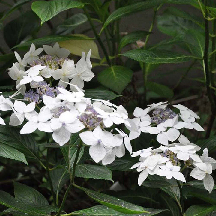 Hydrangea m. Plant - Lanarth White