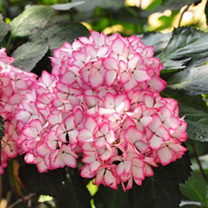 Hydrangea m. Plant - Mirai