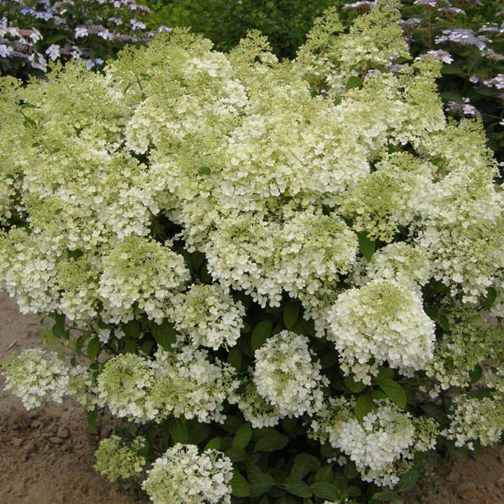 hydrangea paniculata plant bobo trees and shrubs flowers garden dobies. Black Bedroom Furniture Sets. Home Design Ideas