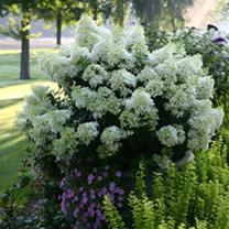 Hydrangea paniculata Plant Bobo