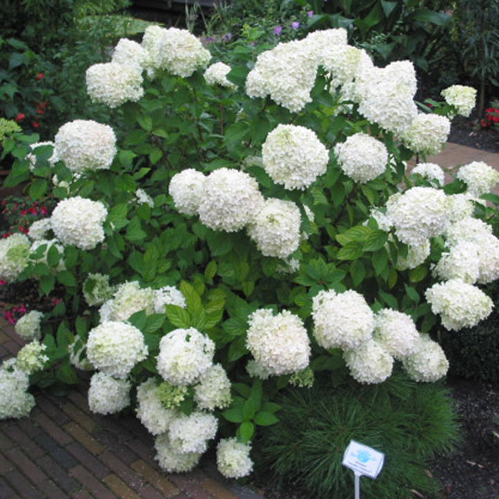 Hydrangea paniculata plant limelight trees and shrubs for Limelight hydrangea