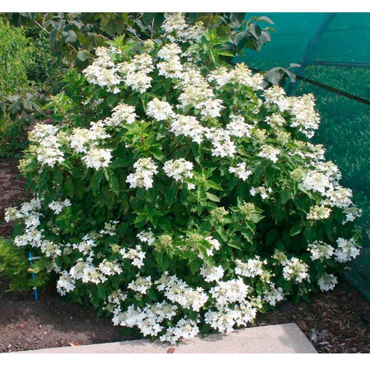 Hydrangea Paniculata Plant - Magical® Starlight