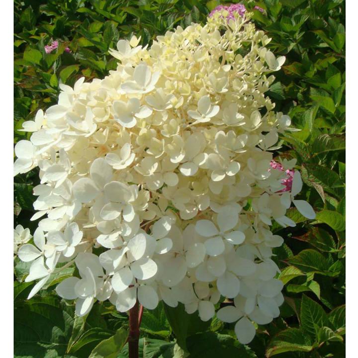 Hydrangea paniculata Plant - Phantom