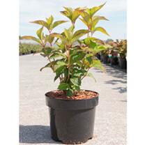 Hydrangea serrata Plant - Avelroz®