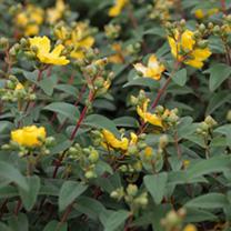 Hypericum Plant - Hidcote