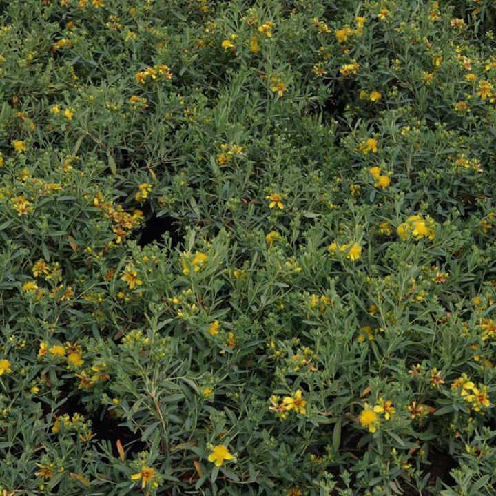 Hypericum kalmianum Plant - Blue Velvet