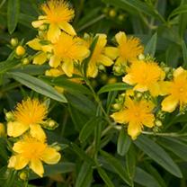 Hypericum kalmianum Plant - Sunny Boulevard