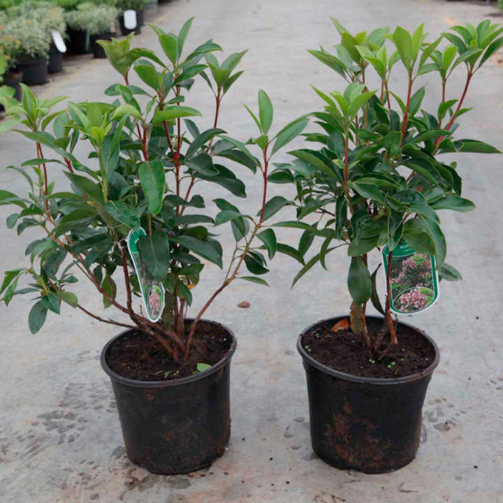 Kalmia latifolia Plant