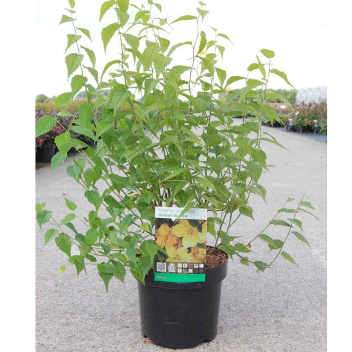 Kerria japonica Plant - Golden Guinea
