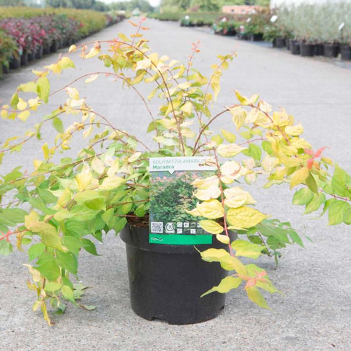 Kolkwitzia amabilis Plant - Maradco