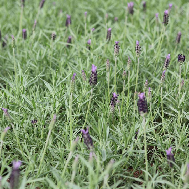 Lavandula stoechas Plant - Papillon