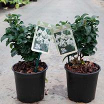Ligustrum j. Plant - Rotundifolium
