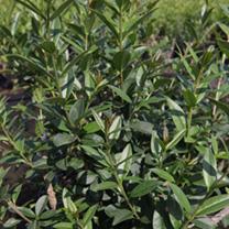Ligustrum vulgare Plant - Atrovirens