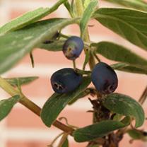 Lonicera kamtschatica Plant - Duet