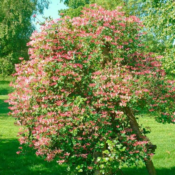 Lonicera periclymenum Plant - Belgica Select