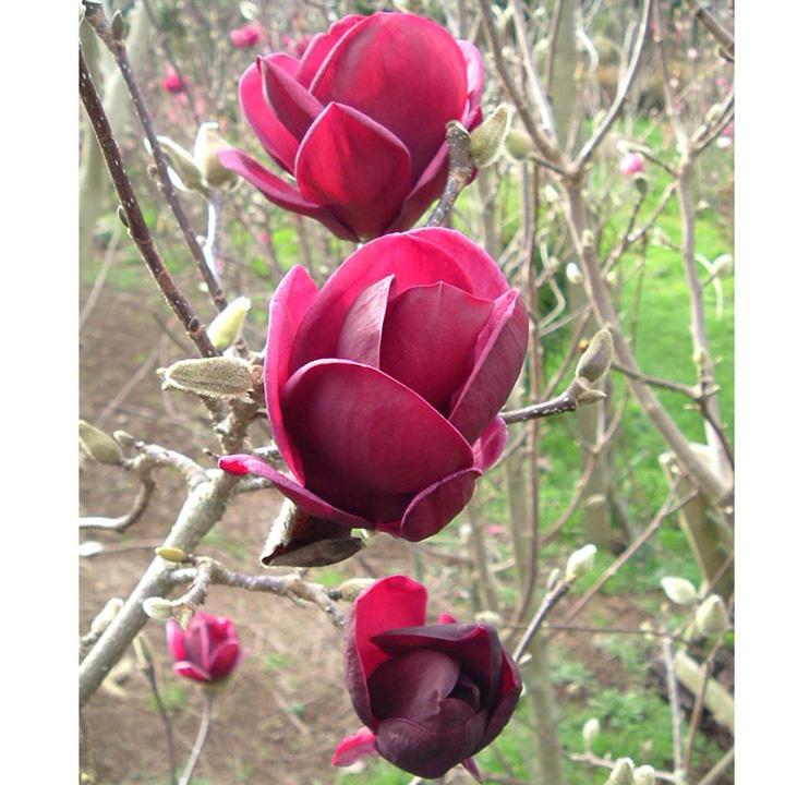 magnolia plant george henry kern trees and shrubs. Black Bedroom Furniture Sets. Home Design Ideas