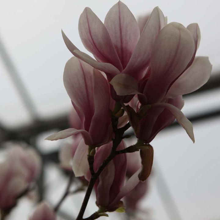 Magnolia soulangeana Plant - Alba Superba
