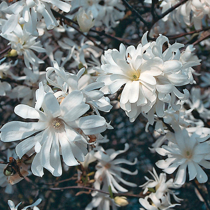 magnolia stellata plant royal star trees and shrubs. Black Bedroom Furniture Sets. Home Design Ideas