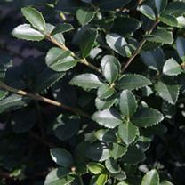 Osmanthus heterophyllus Plant