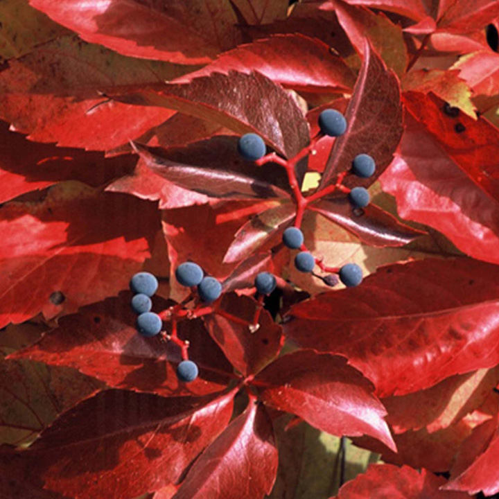 Parthenocissus tr.  Plant - Green Spring