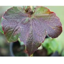 Parthenocissus tricuspidata Plant - Veitchii