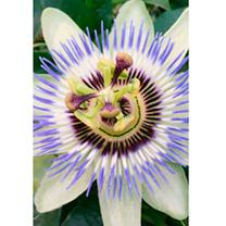 Passiflora caerulea Plant
