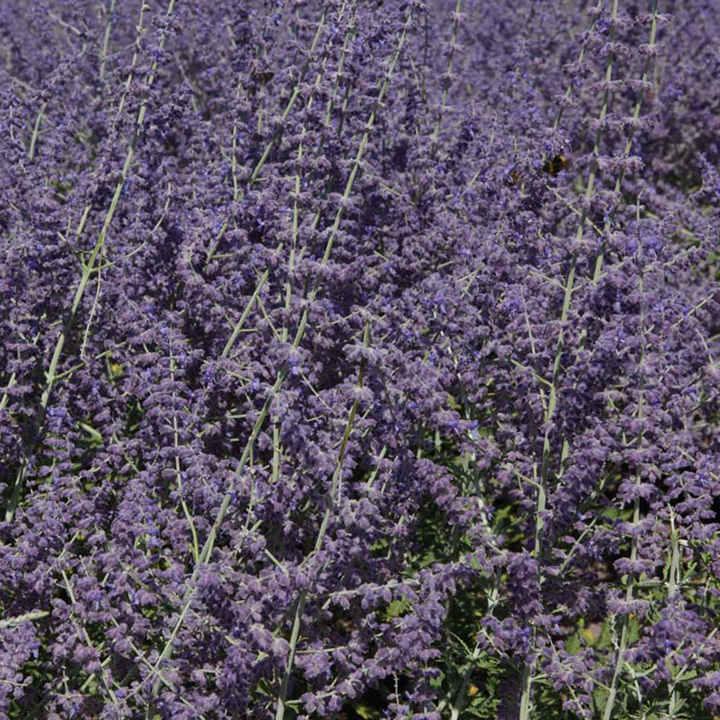 Perovskia atriplicifolia Plant - Silvery Blue®