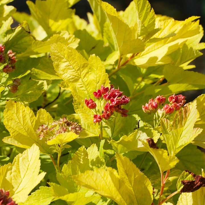 Physocarpus opulifolius Plant - Angel Gold