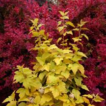 Physocarpus opulifolius Plant - Anny's Gold