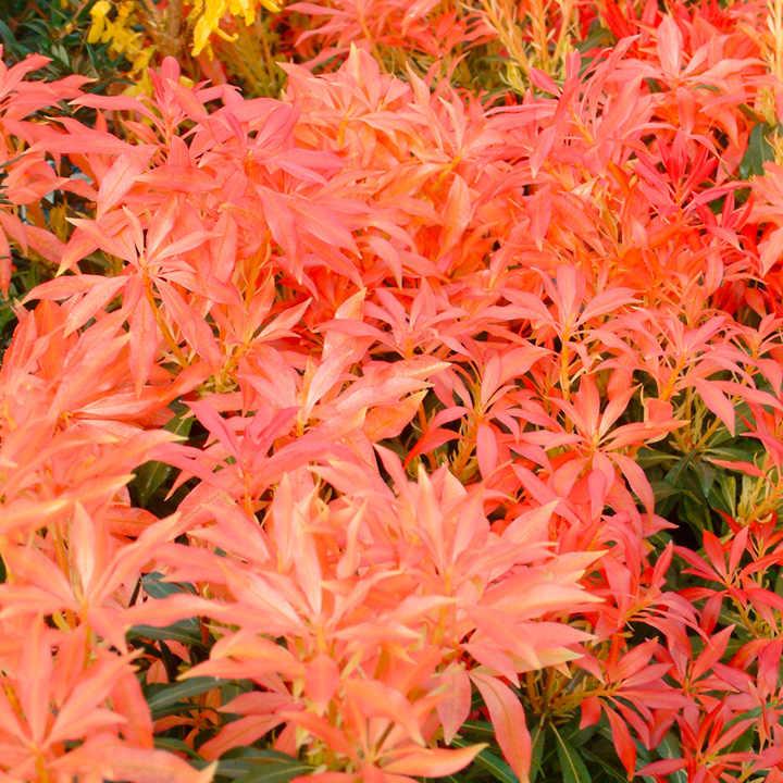 Pieris Plant - Forest Flame