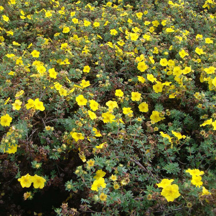 Potentilla fruticosa Plant - Mount Everest