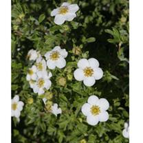 Potentilla fruticosa Plant - Sommerflor